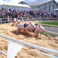 The Alaskan pig race is one of the hilarious, fun events at the Lane County Fair.